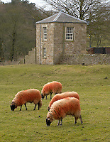Sheep with red dye on wool at Lee, Forerst of Bowland, Lancashire.