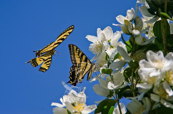 Two Western Tiger Swallowtail Butterflies (Papilio rutulus).  Mock-orange bush, Pacific Northwest.
