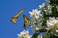 Two Western Tiger Swallowtail Butterflies (Papilio rutulus).  Mock-orange bush, Pacific Northwest.
