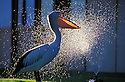 Australian pelican (Pelecanus conspicillatus) drinking from garden sprinkler, Western Australia