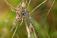 339650012 a wild male swamp darner dragonfly epiaeschna heros perches on a dead twig in jasper county texas