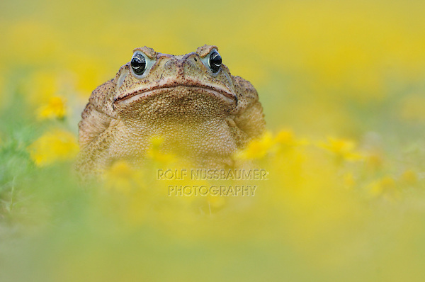 Cane Toad, Marine Toad, Giant Toad (Bufo marinus), adult standing in Dogweed(Dyssodia pentachaeta),  Laredo, Webb County, South Texas, USA