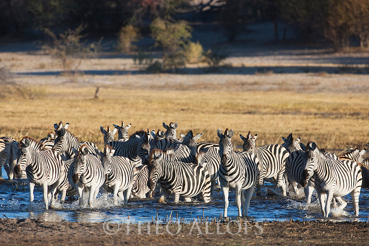 Botswana, Magkadikadi Pan National Park, Boteti River, Burchell's zebras (Equus burchellii) running across shallow river