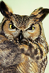 Owls - Great Horned