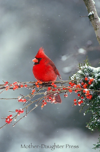 Male Northern Cardinal on holly branch in snow, winter and deaso gu=ill