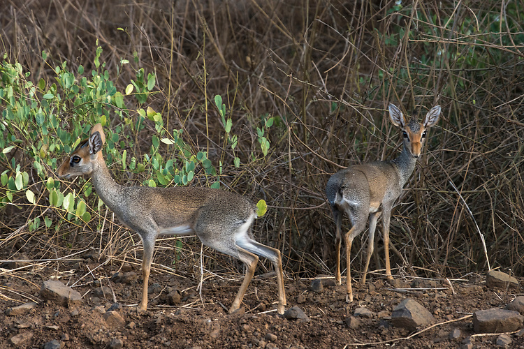 The Dik-Diks are small antelopes that live in the bush in such places as Ethiopia's Omo Valley.