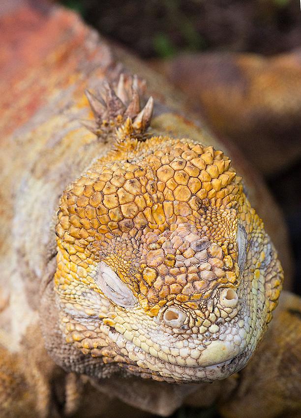 Land Iguana, Galapagos Islands, Scales