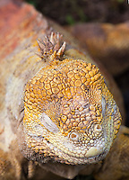 Land Iguana, Galapagos Islands, Scales