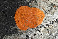 Zierliche Gelbflechte, Blattflechte auf einer Betonmauer, Xanthoria elegans var. elegans, Amphiloma elegans, Caloplaca dissidens, Caloplaca elegans, Caloplaca tegularis, elegant sunburst lichen, Elegant Orange Wall Lichen