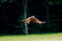 Profile of a Red-tailed hawk in flight