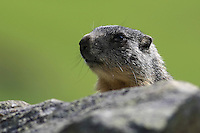 Portrait of a young marmot hidden behind stones