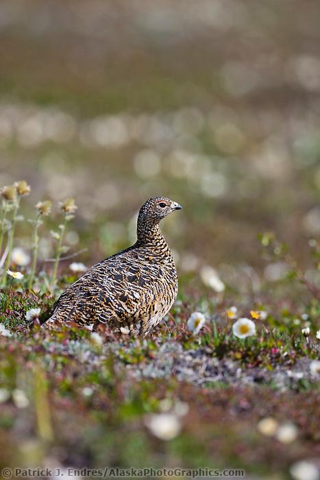 Willow ptarmigan, Utukok Uplands, National Petroleum Reserve Alaska, Arctic, Alaska.