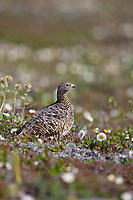 Willow ptarmigan, Utukok Uplands, National Petroleum Reserve Alaska, Arctic, Alaska.