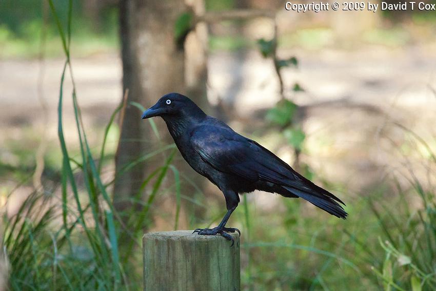 Australian Raven, Korsmans Landing, Myall Lakes NP, NSW, Australia