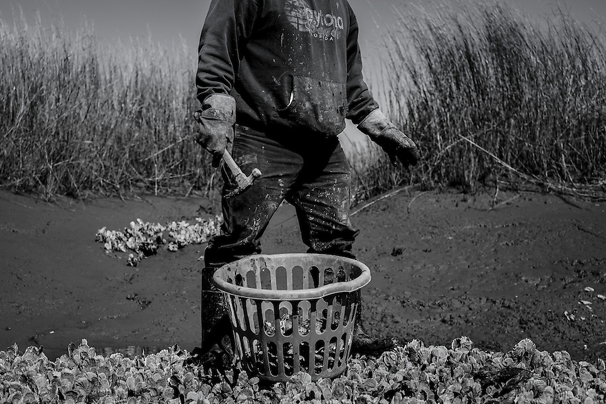 Gullah fisherman Ed Atkins harvests oysters.