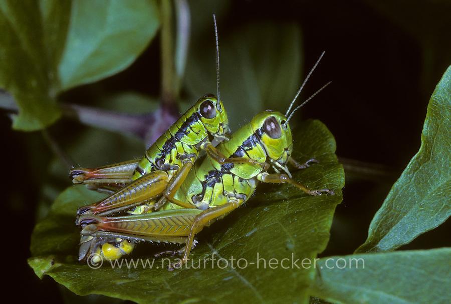 Flügellose Knarrschrecke, Paarung, Kopulation, Kopula, Micropodisma salamandra, Foothill Mountain Grasshopper, pairing