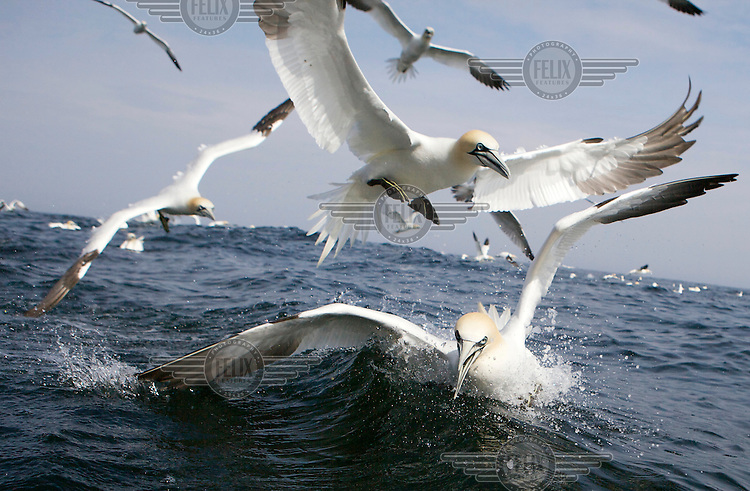 Atlantic gannets (Morus Bassanus) fish near Bass Rock off the coast of Dunbar, East Lothian. The rock hosts the largest single rock colony of this species in the world with 150,000 birds. They can reach a wingspan of 1.8m and stand 1m tall.