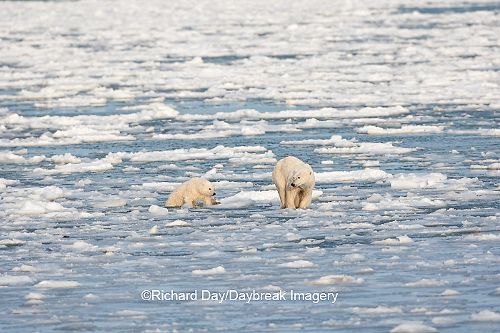 01874-12115 Polar Bear (Ursus maritimus) mother and cub jumping on ice in Hudson Bay  in Churchill Wildlife Management Area, Churchill, MB Canada