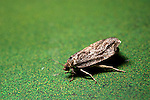 Spruce Budworm Moths