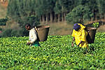 Tea Workers & Fields