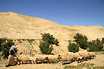 Judean desert, a flock of sheep in Ein Qelt