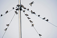 A group of swallows risqueras (Petrochelidon pyrrhonota) meets very early on an antenna, located in the high building of the National School of Higher Studies (ENES) in the municipality of Morelia, Michoacán. .<br /> (Photo: AdidJimenez / nortephoto.com)<br /> <br /> Un grupo de golondrinas risqueras (Petrochelidon pyrrhonota) se reúne muy temprano sobre una antena, ubicada en el alto edificio de la Escuela Nacional de Estudios Superiores (ENES) en el municipio de Morelia, Michoacán. .<br /> (Foto: AdidJimenez / nortephoto.com)