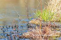 00685-00613 American Bittern (Botaurus lentiginosus) eating tadpole in wetland Marion Co. IL
