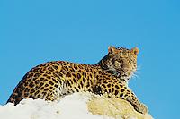 Amur leopard (Panthera pardus orientalis), winter.