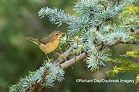 01490-00313 Common Yellowthroat (Geothlypis trichas) female in Blue Atlas Cedar Marion Co. IL