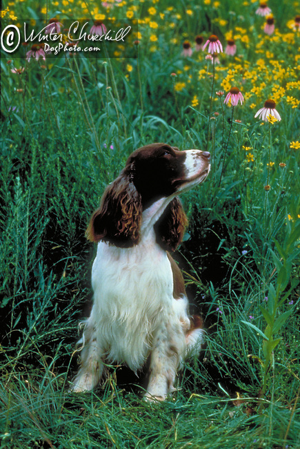 English Springer Spaniel<br /> <br /> <br /> Shopping cart has 3 Tabs:<br /> <br /> 1) Rights-Managed downloads for Commercial Use<br /> <br /> 2) Print sizes from wallet to 20x30<br /> <br /> 3) Merchandise items like T-shirts and refrigerator magnets
