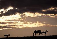 Horses at dawn; North Dakota