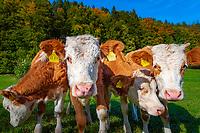 Deutschland, Bayern, Chiemgau, Hinterwoessen: neurigieriges Jungvieh mit Ohrmarken auf Sommerwiese   Germany, Bavaria, Chbiemgau, Hinterwoessen: snoopy young cattle with ear marks on summer pasture