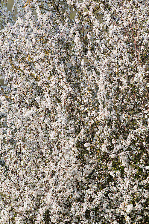 Blackthorn, Prunus spinosa, in traditional hay meadow. Clattinger Farm, Wiltshire. UK. This habitat has been reduced by 98% in the UK since the Second World War. This is largely due to the intensification of farming practices.