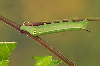 Großer Weinschwärmer, Südlicher Weinschwärmer, Raupe frisst an Wein, Weinrebe, Hippotion celerio, vine hawk-moth, silver-striped hawk-moth, Silver-striped Hawkmoth, caterpillar, Le Sphinx phoenix. Schwärmer, Sphingidae, hawkmoths, hawk moths, sphinx moths, sphinx moth, hawk-moths, hawkmoth