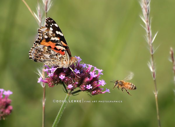 Butterfly On Brazilian Verbena, American Painted Lady, Vanessa virginiensis With Honey Bee