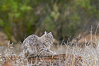 Wild Bobcat (Lynx rufus) digging claws into log.  California.  Late Winter.  (Completely wild non-captive cat.)