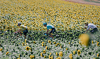 yellow jersey / GC leader Fabio Aru (ITA/Astana) between the sunflowers<br /> <br /> 104th Tour de France 2017<br /> Stage 14 - Blagnac › Rodez (181km)