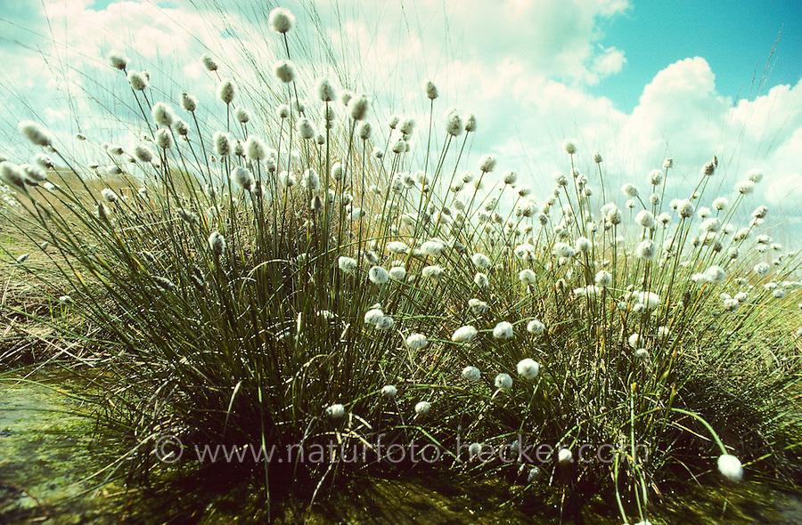 Scheiden-Wollgras, Moor-Wollgras, Scheidiges Wollgras, Schneiden-Wollgras, Eriophorum vaginatum, Hare's-tail Cottongrass, Tussock Cottongrass, Tussock Cotton Grass, Sheathed Cottonsedge