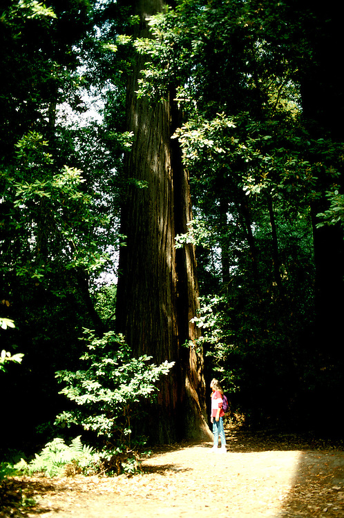 CA: Redwood National Park, world's tallest tree, catree 103  .Photo copyright Lee Foster, 510/549-2202, lee@fostertravel.com, www.fostertravel.com