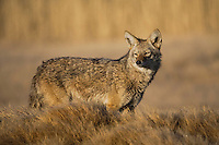 Coyote (Canis latrans), adult, Yellowstone National Park, Wyoming, USA