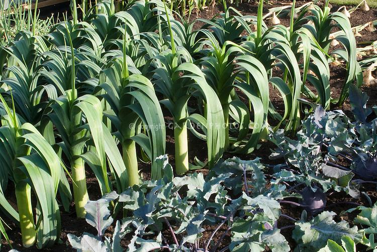 Leeks 'Sammy Cross, kohl rabi 'Kalibri', beets growing in vegetable garden