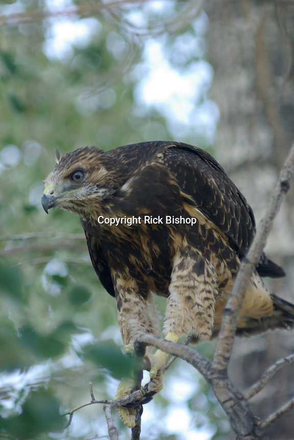 Immature Swainson's Hawk seen on a tree branch below the nest near  Hinckley, Utah.
