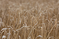 18.7.2020  Winter barley in South Lincolnshire. <br />  ©Tim Scrivener Photographer 07850 303986<br />      ....Covering Agriculture In The UK.