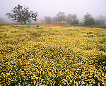 Field of Tidy tips lead to fog shrouded oaks, California Valley