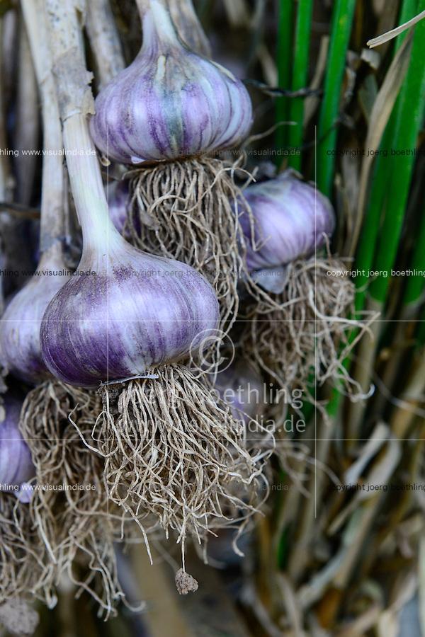 GERMANY Witzenhausen, garlic farming at farm, cultivation of different and old varieties / DEUTSCHLAND, Witzenhausen, Knoblauch Anbau und Ernte bei Gregor Schmitz, Anbau verschiedener und alter Knoblauchsorten, Trocknung
