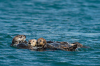 Southern Sea Otter (Enhydra lutris nereis) mother with young pup.  Central California Coast.   Several other sea otter are attempting to check out the mother and pup.