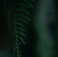 Plant History Glasshouse (formerly the Australian Glasshouse),1830s, Charles Rohault de Fleury, Jardin des Plantes, Museum National d'Histoire Naturelle, Paris, France. Detail of cyatheales showing the leaves against a dark background.