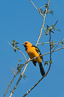 561820074 Altimara Oriole Icterus gularis WILD  _DLW7351.Adult in Breeding Plumage.Bentsen Rio Grande Valley State Park, Rio Grande Valley, Texas