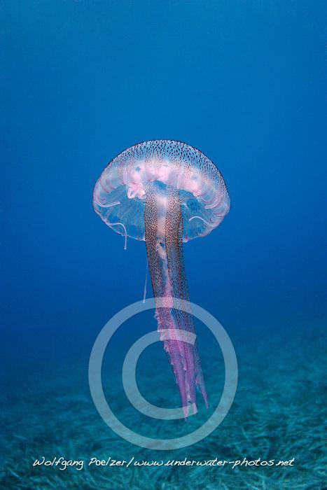 Pelagia noctiluca, Leuchtqualle, Luminescent jellyfish