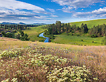 The Palouse, Whitman County, WA: Buckwheat (Eriogonum heracleoides) and bachelor's buttons (Centaurea cyanus) in an open meadow overlooking the Palouse River